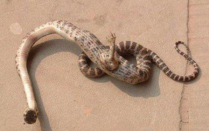 snake-foot